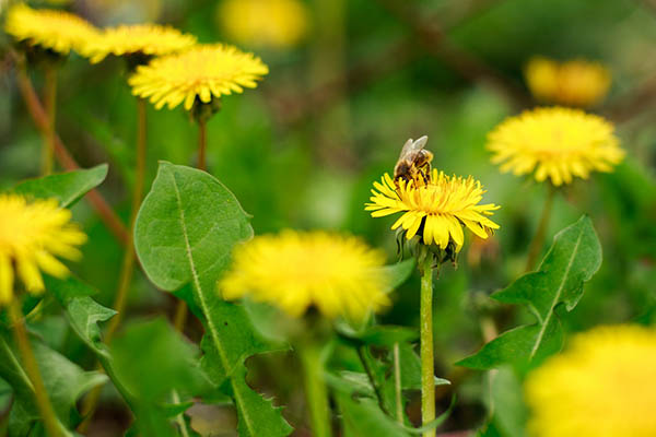 Photo of bee on dandelion