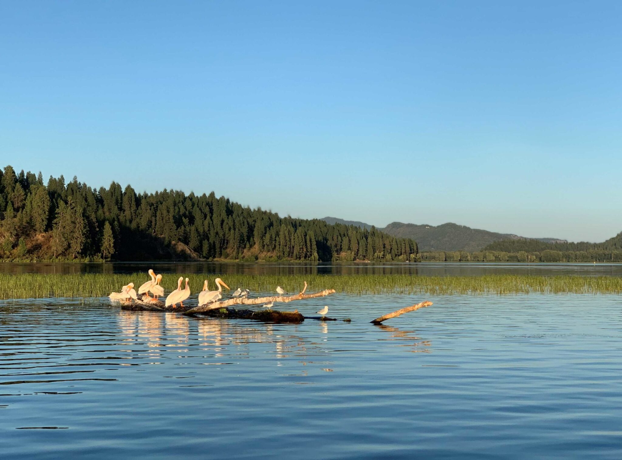 A group of pelicans on a submerged tree on lake.