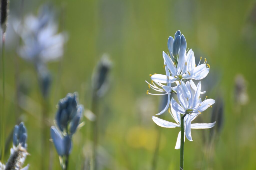 blue petals of the commas camas flower