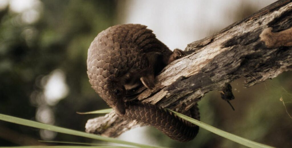 A pangolin on a tree limb.