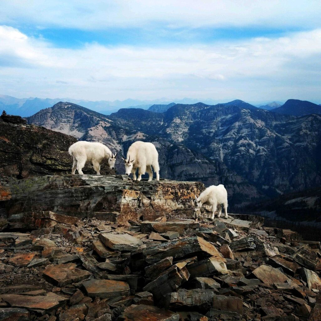 Three mountain goats looking for vegetation to eat.