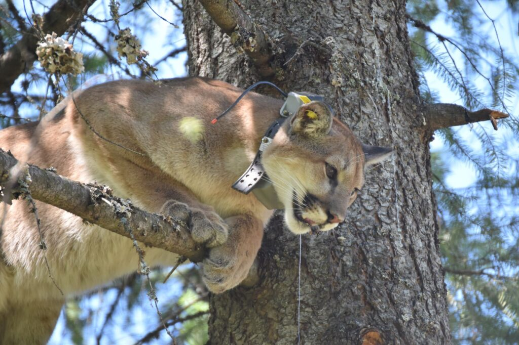 A cougar in a tree with a radio collar.
