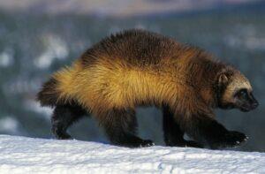 A wolverine animal walking through the snow.