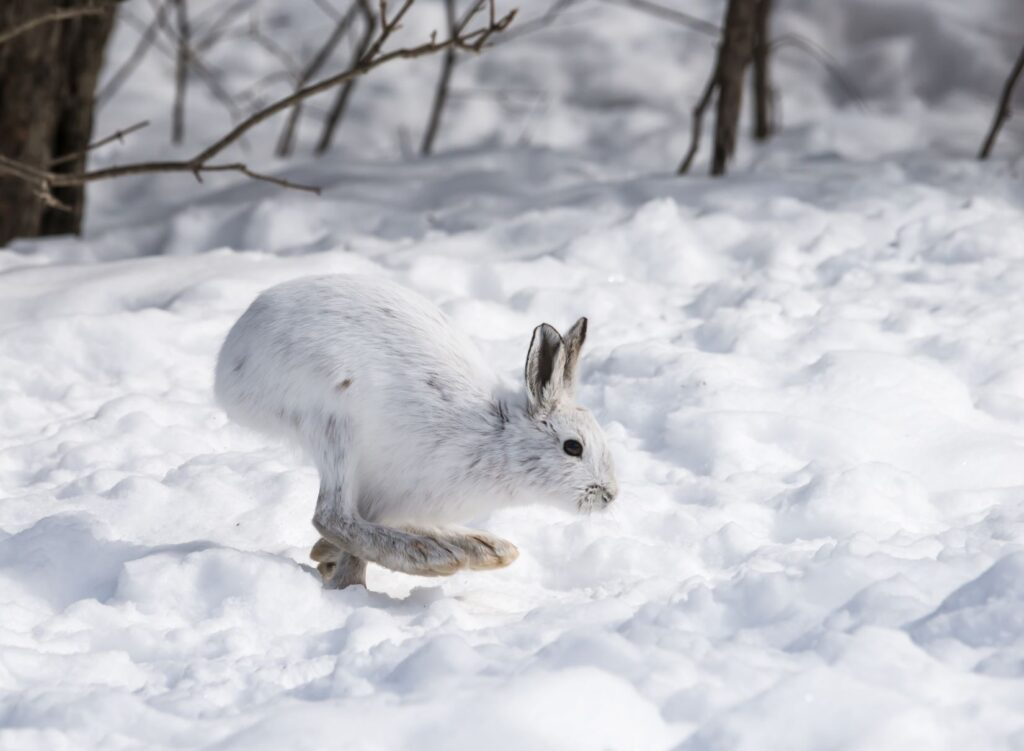 Snowshoe hare hopping in a snowy landscape.
