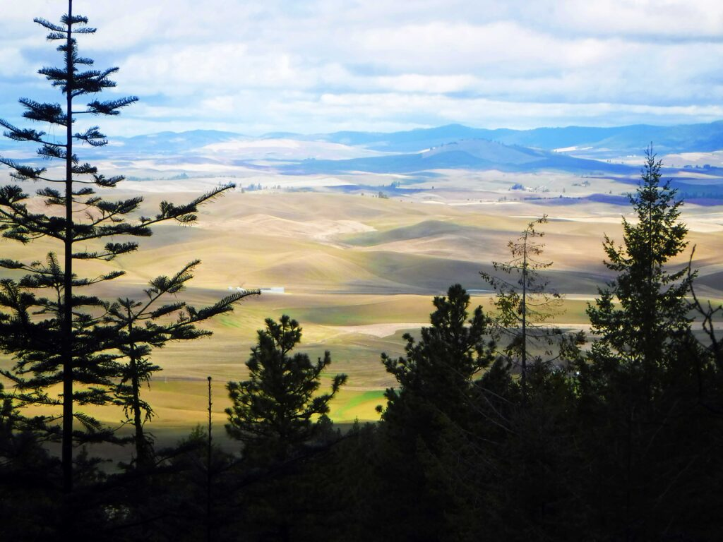 View of rolling green hills of Palouse farmland from the summit from Kamiak Butte.