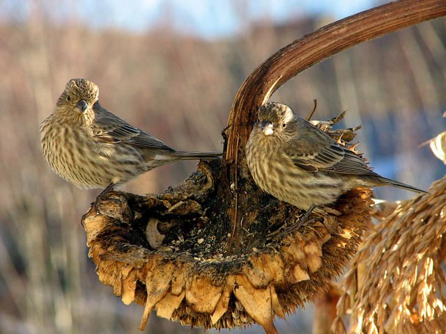 Two wild finches sit atop the underside of a large sunflower during fall to forage for seeds.
