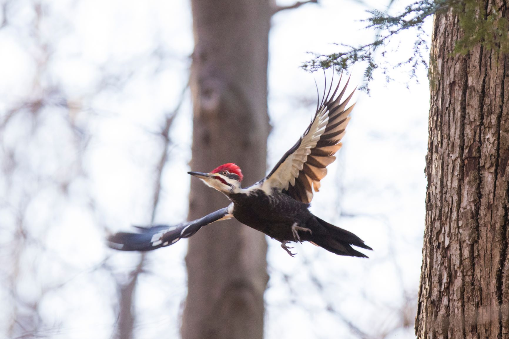 Pileated woodpecker, with its iconic red Mohawk and white striped head, soars among trees.
