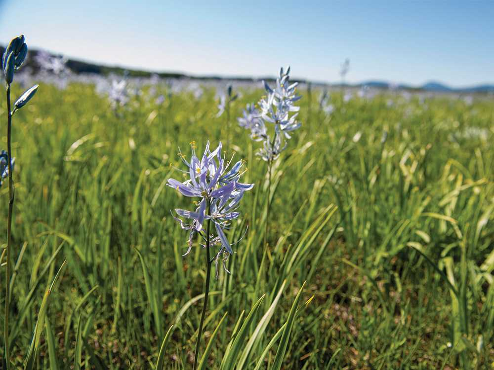 Wild purple camas flower in the Pend Oreille River valley.