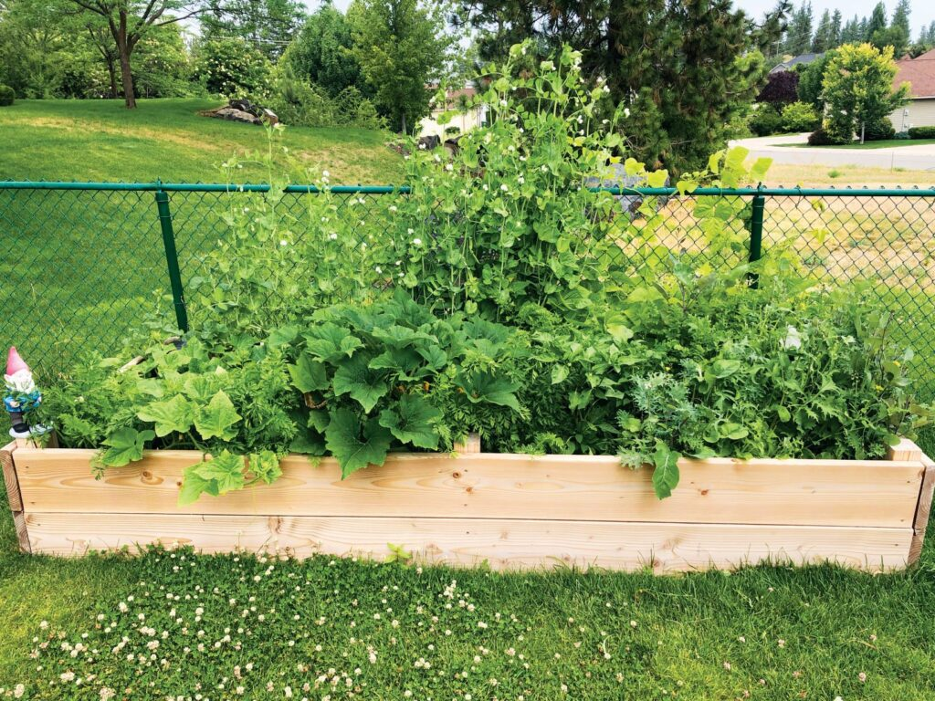 A full garden box--raised bed with green leafy vegetables and vines.