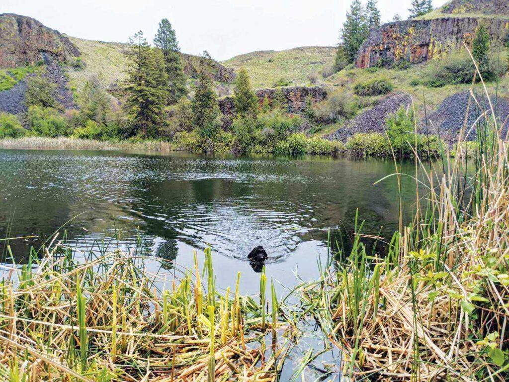 Black lab swimming in Northrup Lake.0