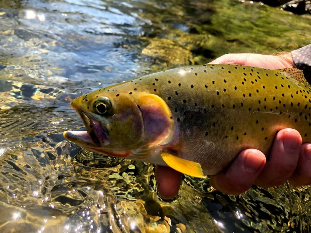 Person holding a cutthroat trout before releasing it back into the St. Joe River.