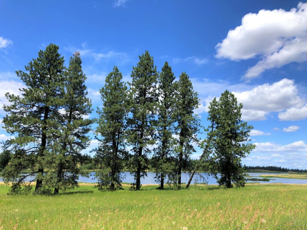 Evergreen trees standing tall between a grassy meadow and lake.