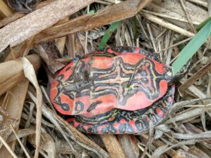 Vibrant red, black, and yellow patterned underside of a painted turtle shell.